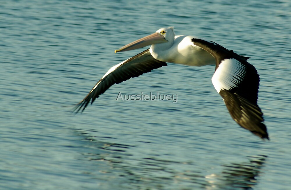 Pelican Flyby, 2 by Aussiebluey