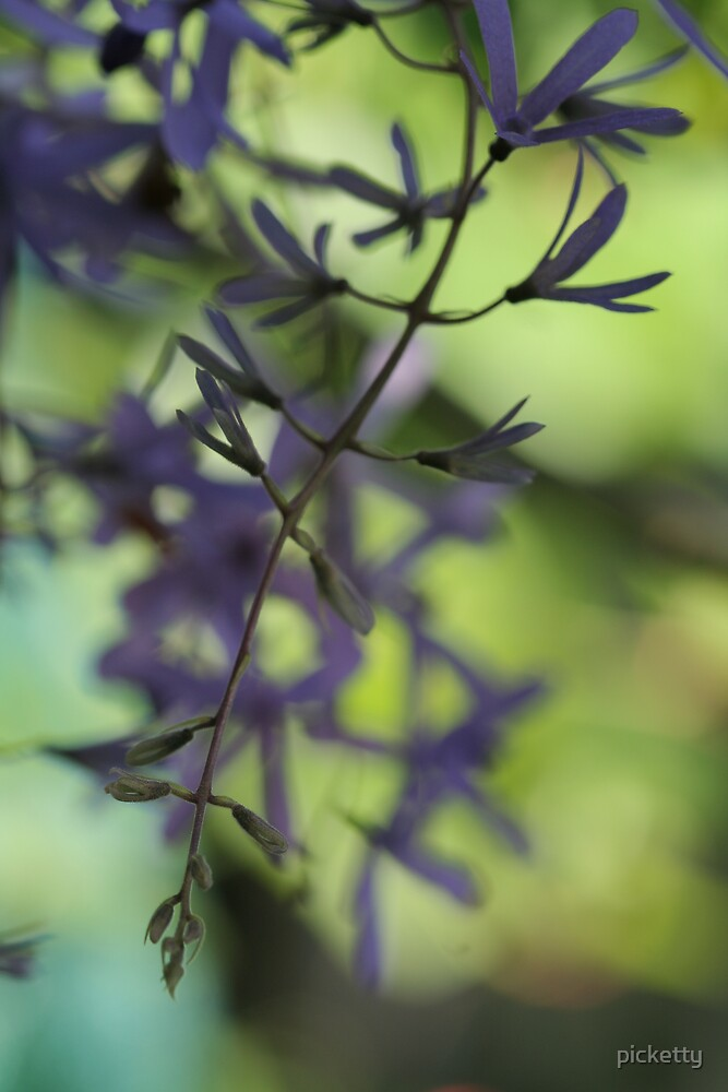petrea volubilis by picketty