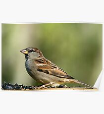 House Sparrow in Fall Coat Poster