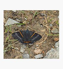 greyish-black butterfly with bright orange stripes Photographic Print