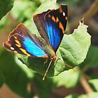 small butterfly with dark wings, bright blue and orange pattern by dare2go