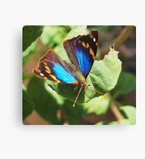 small butterfly with dark wings, bright blue and orange pattern Canvas Print