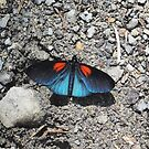 Shiny blue butterfly with red markings by dare2go
