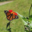 Monarch butterfly by dare2go