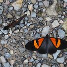 Two black and orange butterflies by dare2go