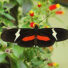 Black and red butterfly with wide wings by dare2go
