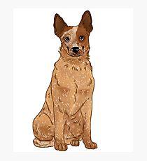 Red Australian Cattle Dog Photographic Print