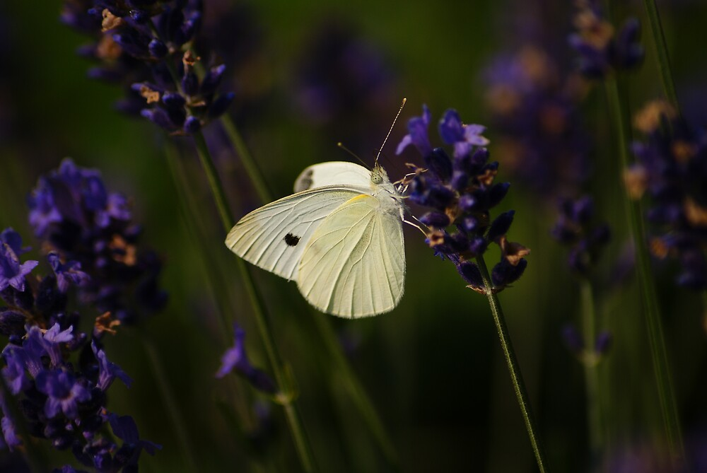 butterfly by photographica
