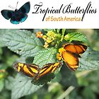 Tropical Butterflies by dare2go