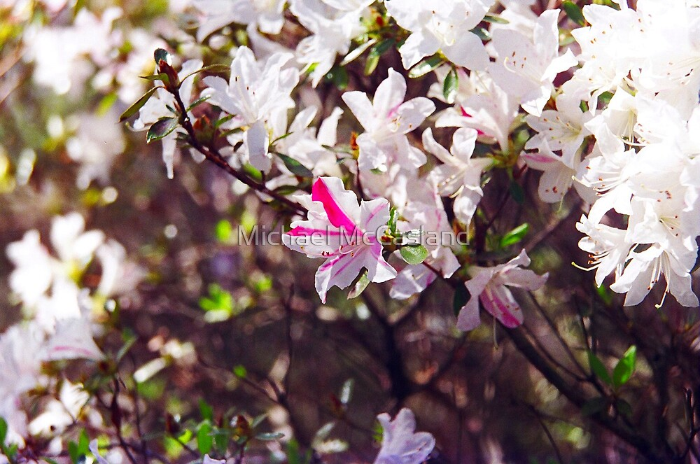 Pink and White Flowers by Michael McCasland