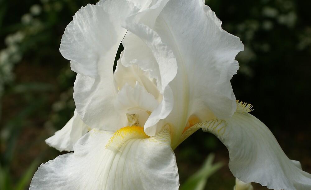 Iris Closeup by Cassy Greenawalt