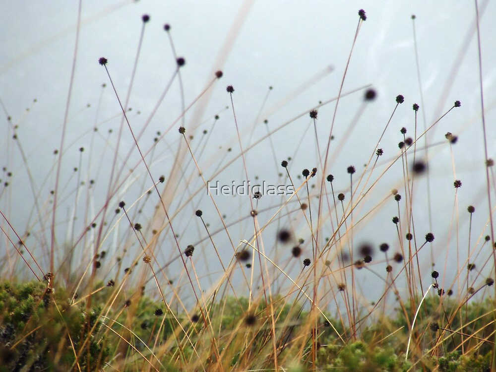 Button Grass by Heidiglass