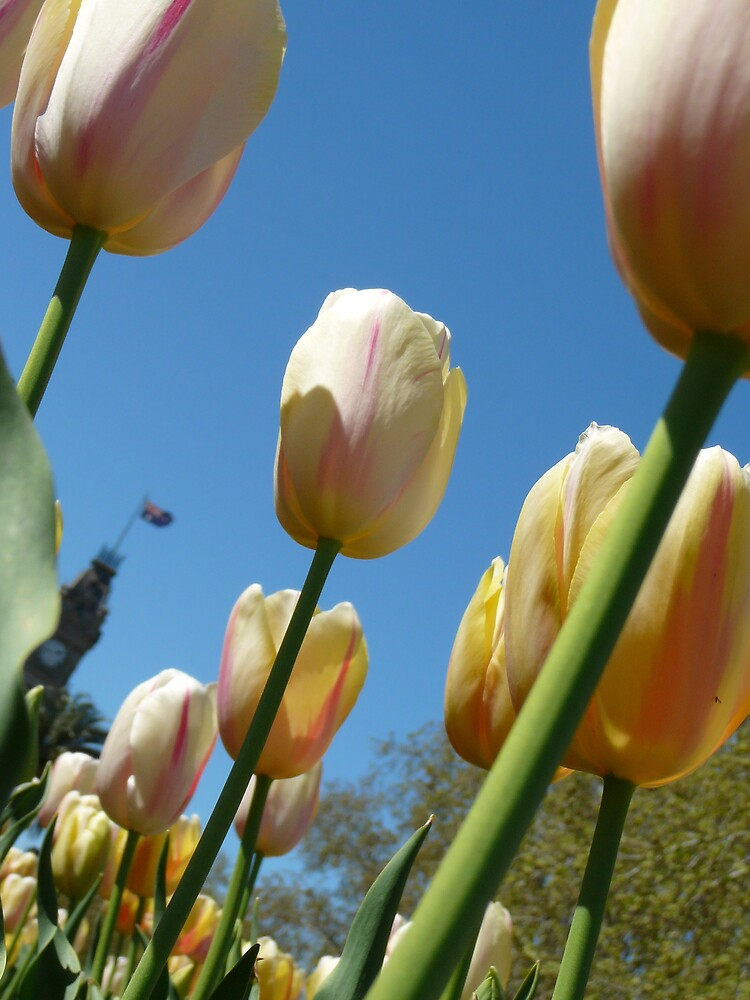 town hall tulips by normab
