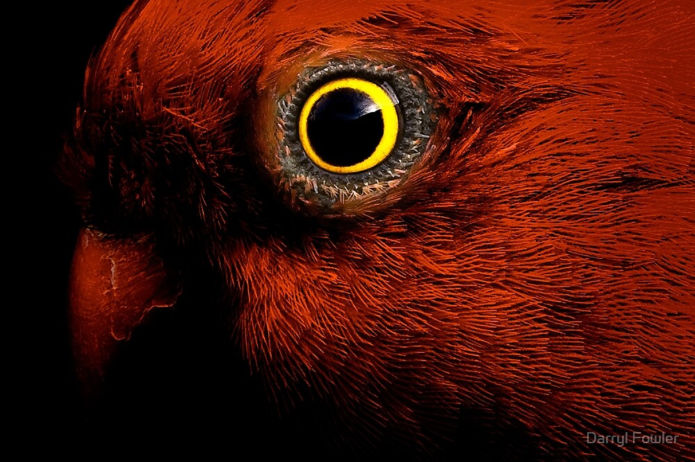 I'm Watching You,King Parrot. by Darryl Fowler