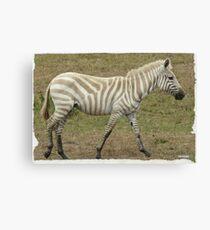 Albino Zebra Canvas Print