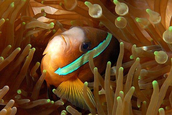 Clarkes Anemonefish by MattTworkowski