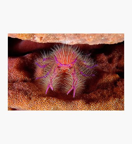 Hairy Squat Lobster Photographic Print