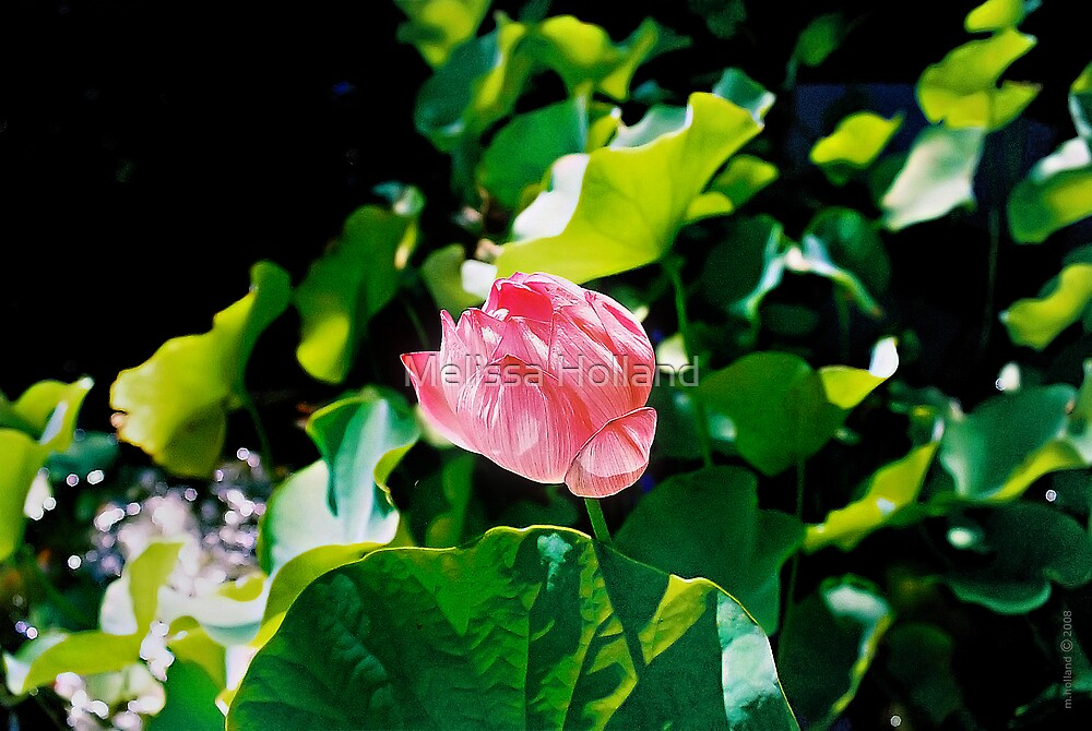 Pink Lotus in a Pond by Melissa Holland