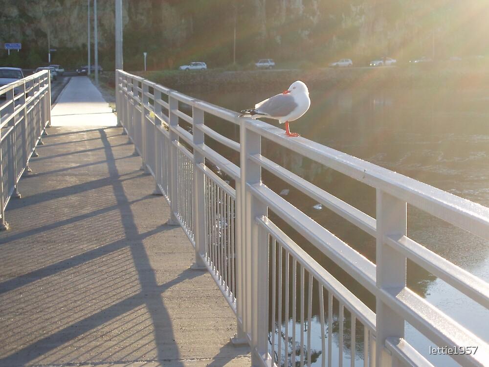 Seagull on bridge - Dunedin -  by lettie1957