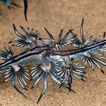 Blue Sea Dragon - Glaucus atlanticus by Normf