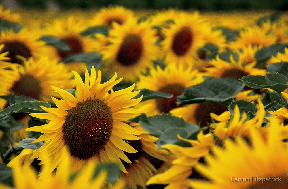 SUNFLOWER by Eamon Fitzpatrick