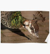 Peahen Poster