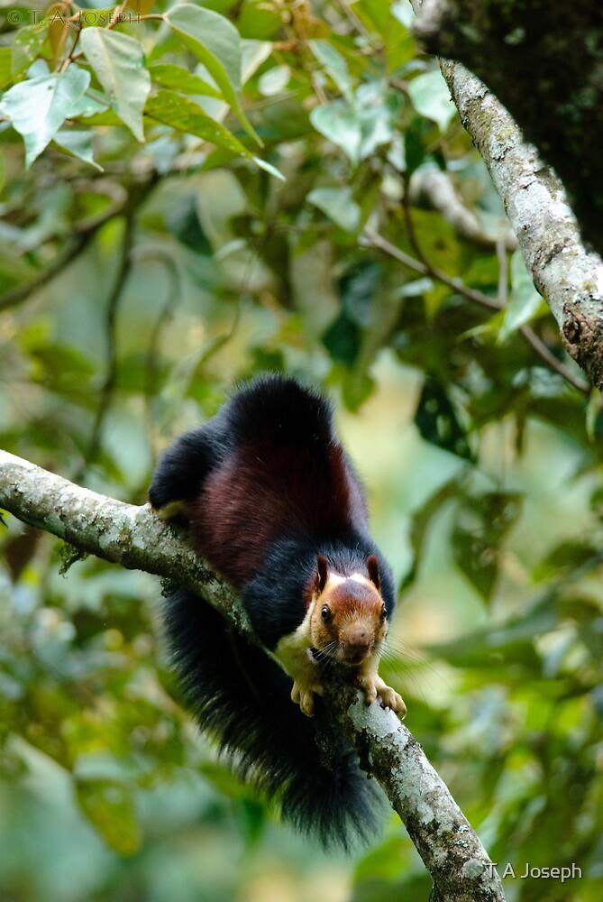 Malabar Giant Squirrel by T A Joseph