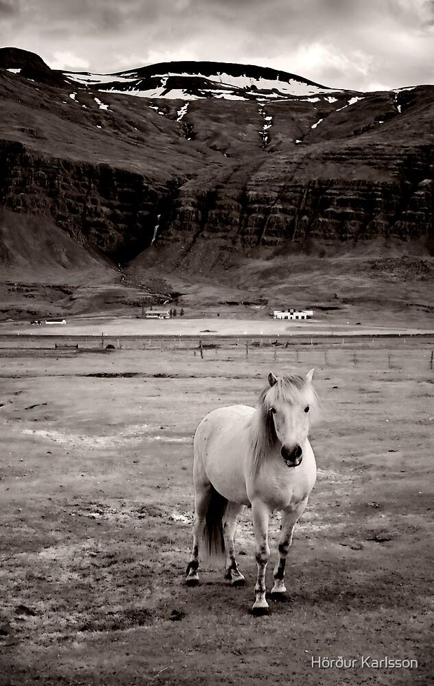 Icelandic Horse by Hörður Karlsson