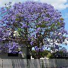 Jacaranda Tree in Bloom by Sharon Brown