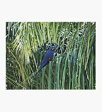 Hyacinth Macaw in the wild Photographic Print