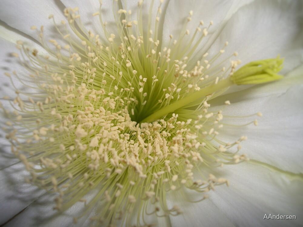 cactus flower by AAndersen