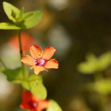 Scarlet Pimpernel by bared