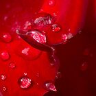 Red Rose by lightphotos
