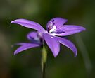 Glossodia Major - Wax Lip Orchids - Mt Barker Summit by LeeoPhotography
