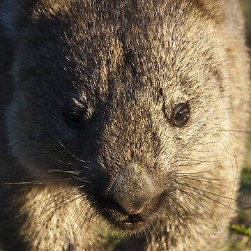 wombat, up close by colhellmuth