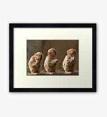 Three cute baby monkeys Framed Print