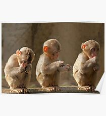 three cute baby monkeys poster