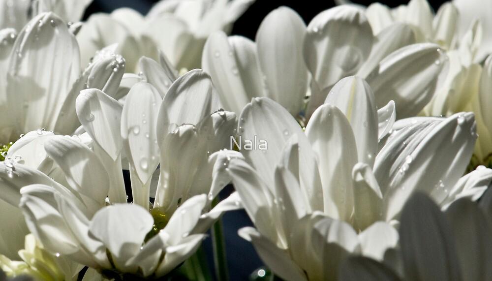 British Chrysanthemum1 by Nala