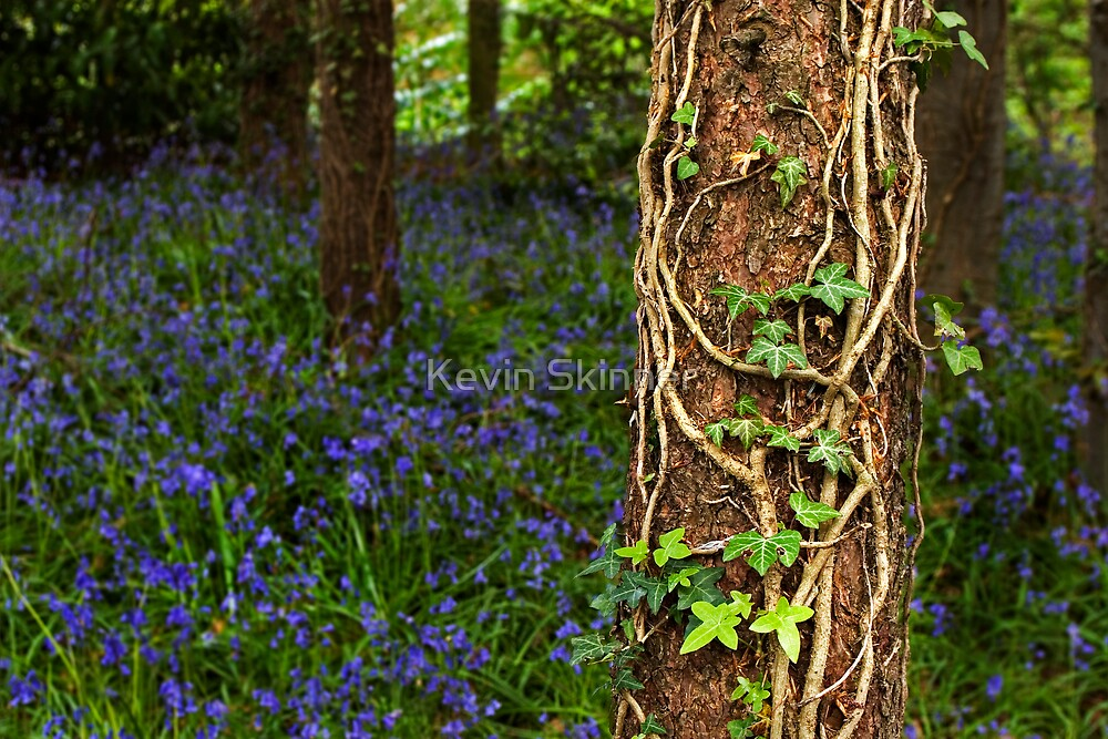 Ivy Over Bluebells Anyday by Kevin Skinner