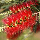 Australian Red Bottlebrush Flowers by Joy Watson