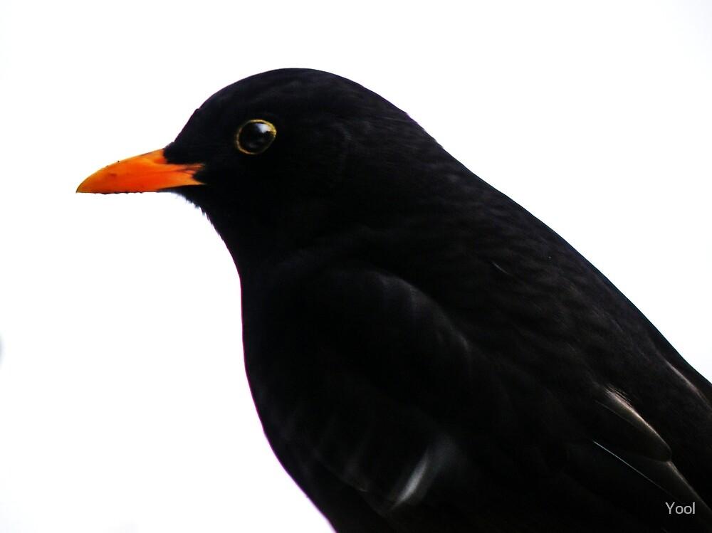 Blackbird by Yool