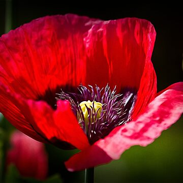 Artistic Poppy by Violaman