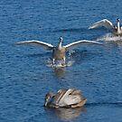 Swans Waterskiing by kernuak