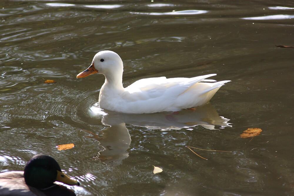 white duck by john george  alderslade