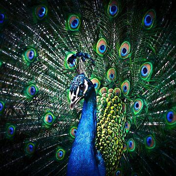Peacock by palinchak