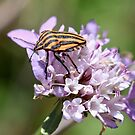 Striped Shieldbug by dilouise
