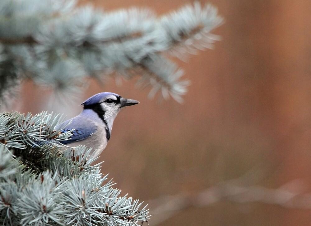 Haughty Blue Jay by Debbie Oppermann