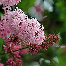 Soft Pink Lilacs by Debbie Oppermann