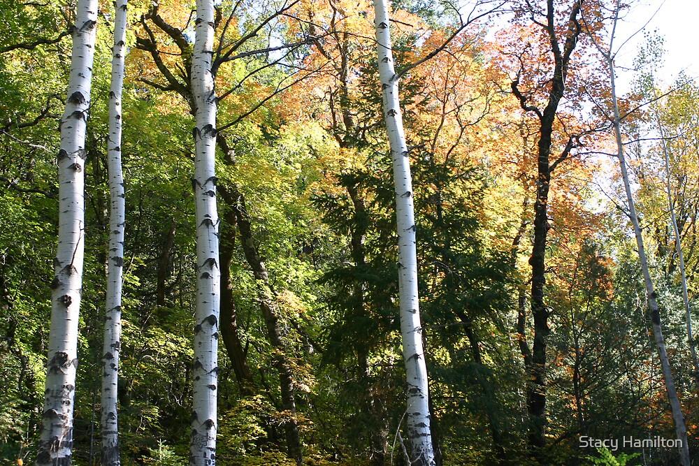 Aspen trees by Stacy Hamilton