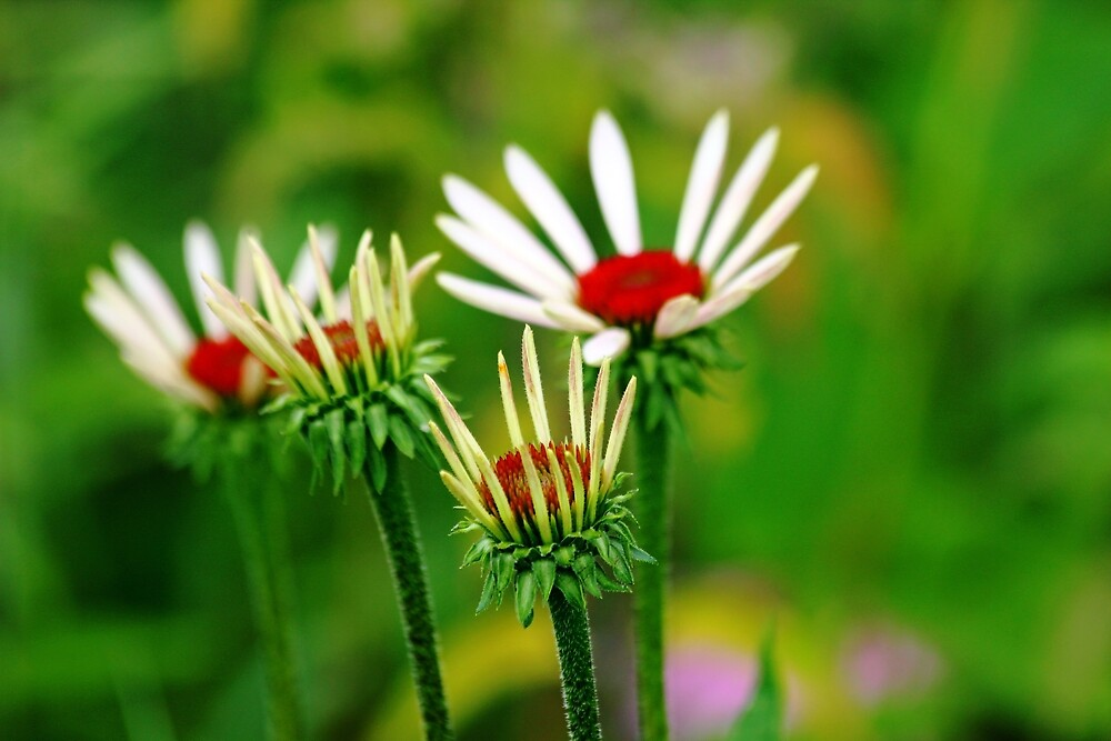 Echinacea by Debbie Oppermann